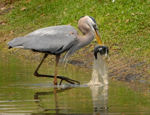 great_blue_heron_swallows_fish_in_plastic_bag_-_flickr_-_andrea_westmoreland