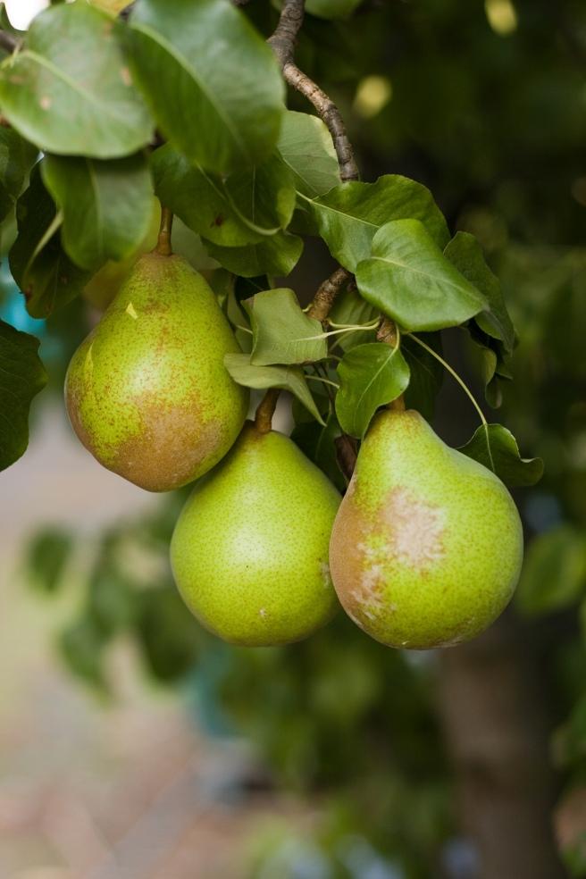 Pear_on_Tree_2